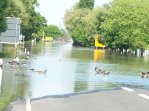 Water fowl taking over the streets of the Rheingau